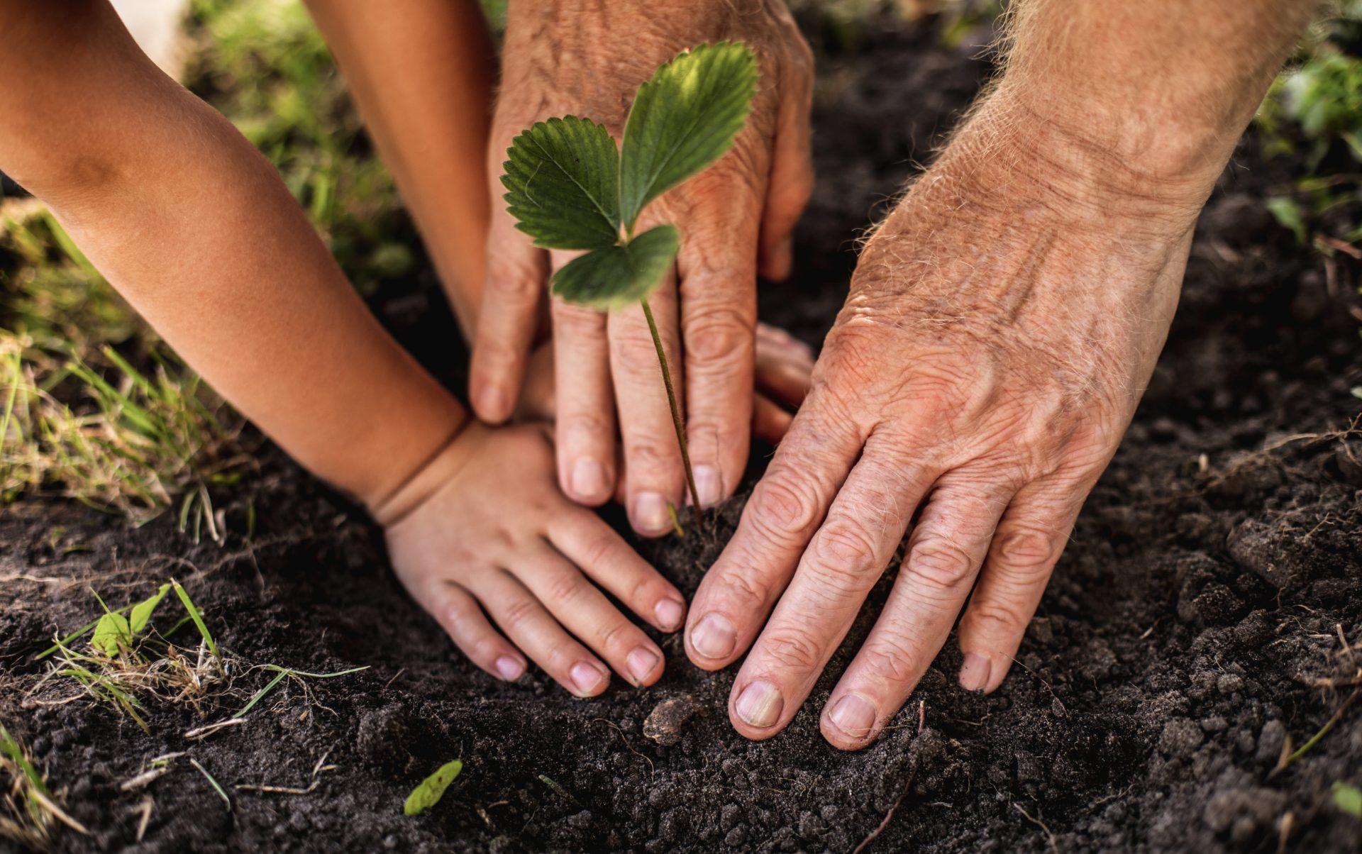 Två par händer, ett gammalt och ungt, som planterar en planta tillsammans.