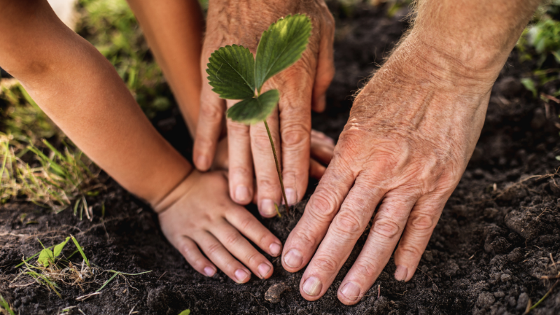 Kaksi käsiparia, vanha ja nuori, istuttaa mansikan tainta.